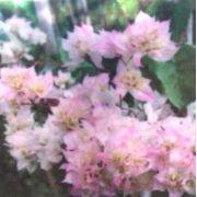 Muda de Primavera Bicolor Dobrada - Bouganville
