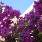 Muda de Primavera Roxa Clara - Bouganville