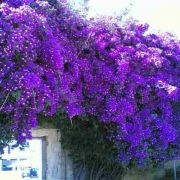 Muda de Primavera Roxa Escura - Bouganville