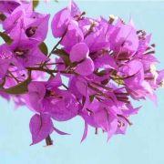 Muda de Primavera Lilás Clara - Bouganville
