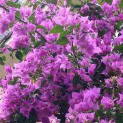 Muda de Primavera Lilás Escura - Bouganville