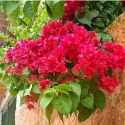 Muda de Primavera Vermelha Dobrada - Bouganville