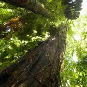 Muda De Araquariquara Ou Acariquara Roxa - Minquartia Guianensis