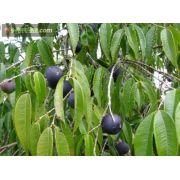 Jabuticaba Azul - Myrciaria Vexator