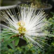 Muda da Flor Caliandra Branca