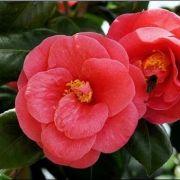Muda da Flor Camélia Vermelha