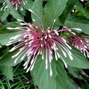 Muda da Flor Clerodendro Cotonete - Quadriloculare