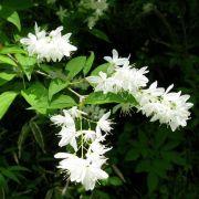 Muda da Flor Deutzia Gracilis Gracilis - Coco Ralado