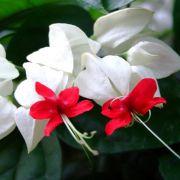 Muda da Flor Lágrima de Cristo Branca - Clerodendron Thomsoniae