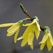 Muda da Flor Sino Dourado - Forsythia Intermedia