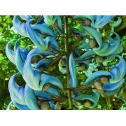 Muda da Flor Trepadeira Jade Azul