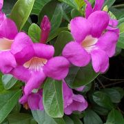 Muda da Flor Trepadeira Saritéia - Saritaea Magnifica
