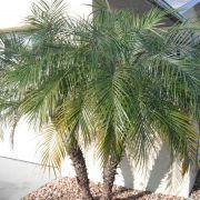 Muda da Palmeira Fênix - Phoenix Roebelenii