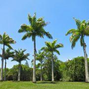 Muda da Palmeira Imperial - Roystonea Oleracea