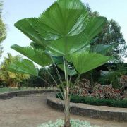 Muda da Palmeira Licuala Grandis