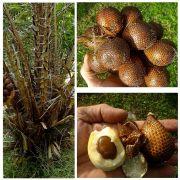 Muda da Palmeira Salaca - Salak Fruit - Salacca Zalacca