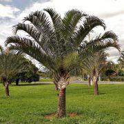 Muda da Palmeira Triangular - Dypsis Decaryi