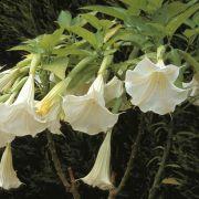 Muda da Flor Trombeta de Anjo - Brugmansia Suaveolens