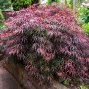 Muda de Acer Dissectum Atropurpureum - Bordo Japonês de Laceleaf