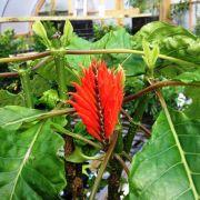 Muda de Afelandra Vermelha - Atrai Beija-Flores
