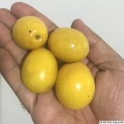 Muda de Ameixa da Caatinga - Excelente Frutífera