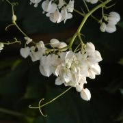 Muda de Amor Agarradinho Branca - Antigonon Leptopus