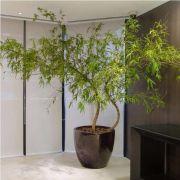 Muda de Bambu Mossô