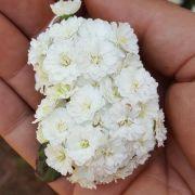 Muda de Buquet de Noiva - Spirea Cantoniensis