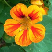 Muda de Capuchinha - Flor Comestível - Tropaeolum Majus