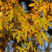 Muda de Carvalho Canadense - Acer Saccharinum