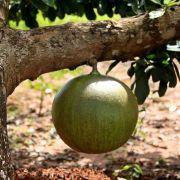 Muda de Coité ou Cuieté - Árvore da Cuia - Crescentia Cujete