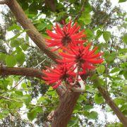 Muda de Erythrina Mulungu - Eritrina Vermelha