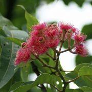 Muda de Eucalipto de Flor Vermelha