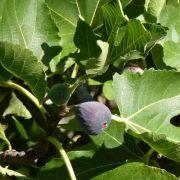 Muda de Figo Negro ou Negrito - Produz em 1 ano