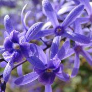 Muda de Flor de São Miguel Azul