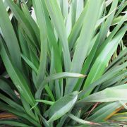 Muda de Fórmio Verde - Phormium Tenax