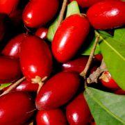 Muda de Fruta do Milagre - Miracle Fruit - Já Produz