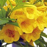 Muda de Ipê Amarelo de Jardim - Tecoma stans
