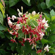 Muda de Jasmim da Índia - Quisqualis Indica