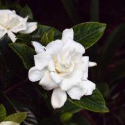 Muda de Jasmim do Cabo - Gardenia jasminoides