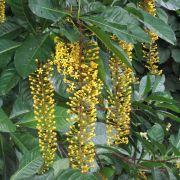 Muda de Lofantera da Amazônia - Lanterneira - Lophantera Lactescens