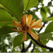 Muda de Magnólia Amarela - Magnolia Champaca
