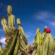 Muda de Mandacaru - Cereus Jamacaru