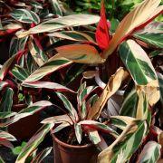 Muda de Maranta Variegada Tricolor - Ctenanthe Oppenheimiana