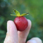Muda de Mini Caqui Africano, Caqui Cereja ou Caqui Tomatinho