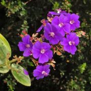Muda de Orelha de Onça - Tibouchina Grandifolia