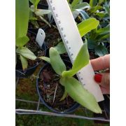 Muda de Orquídea Angraecum eburneum