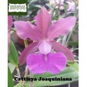 Muda de Orquídea  Cattleya joaquiniana
