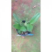 Muda de Orquídea Cattleya Loddigesii alba