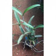 Muda de Orquídea Cattleya Schofieldiana
